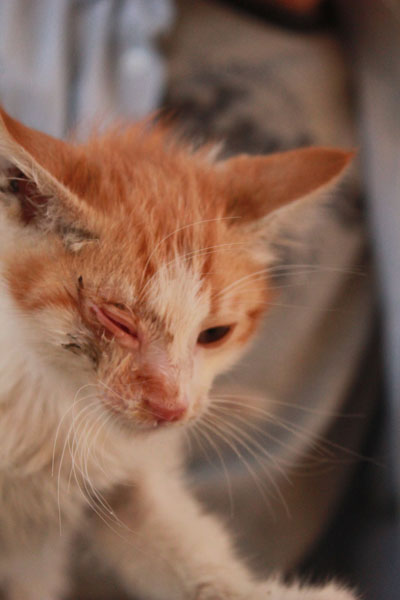 Kedi Gözünde Herpes Virüsü