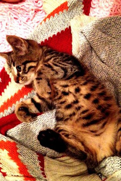 Yuva Arayan Kediler- Tekir Kedi Fıstık