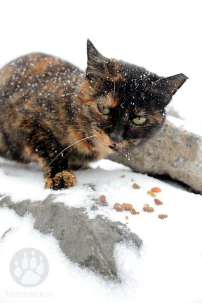 Karda Kışta Sokak Kedileri