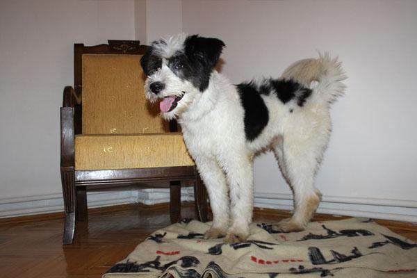 Kayıp - İngiliz Çoban Köpeği Ostim
