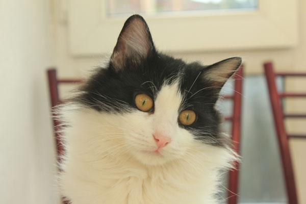 Yuva Arayan Kediler- Sylvester
