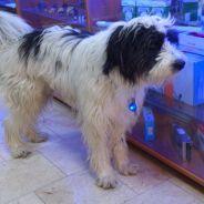 Kayıp – İngiliz Çoban Köpeği Ostim