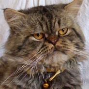 Kayıp İran Kedisi – Beykoz